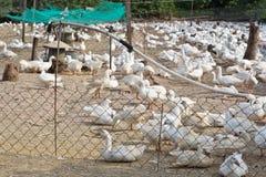 Azienda agricola dell'anatra Immagine Stock