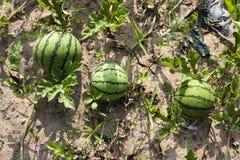 Azienda agricola dell'anguria. Fotografie Stock Libere da Diritti