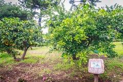 Azienda agricola dell'arancia del mandarino Fotografie Stock Libere da Diritti