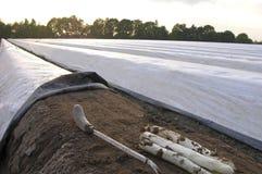 Azienda agricola dell'asparago Fotografia Stock