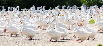 Azienda agricola dell'oca Fotografia Stock Libera da Diritti