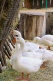 Azienda agricola dell'oca Fotografie Stock Libere da Diritti