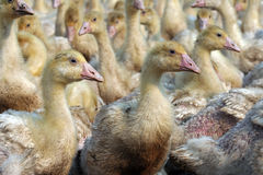 Azienda agricola dell'oca Immagini Stock