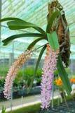 Azienda agricola dell'orchidea Immagini Stock