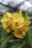 Azienda agricola dell'orchidea in Chiang Mai Immagine Stock Libera da Diritti