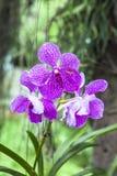 Azienda agricola dell'orchidea in Chiang Mai Immagine Stock
