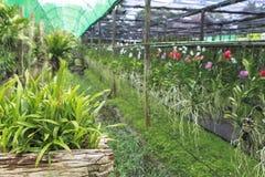 Azienda agricola dell'orchidea in Chiang Mai Fotografie Stock Libere da Diritti