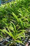 Azienda agricola dell'orchidea di Vanda. Immagini Stock