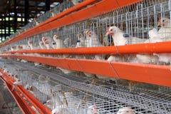 Azienda agricola dell'uovo Fotografie Stock Libere da Diritti