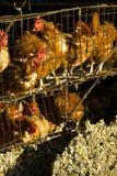 Azienda agricola dell'uovo Immagini Stock Libere da Diritti