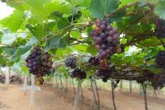 azienda agricola dell'uva Fotografia Stock Libera da Diritti