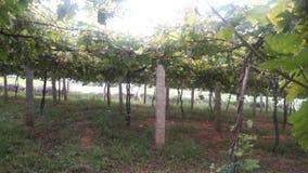 azienda agricola dell'uva fotografie stock libere da diritti