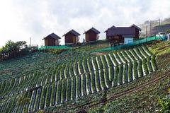 Azienda agricola della bacca della paglia sulla collina Immagini Stock