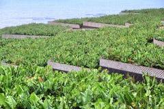 Azienda agricola della banana Fotografia Stock Libera da Diritti