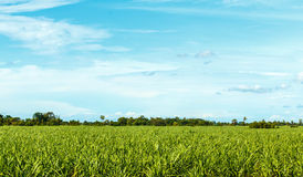 Azienda agricola della canna da zucchero Fotografia Stock Libera da Diritti