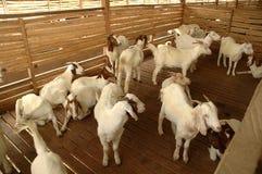 Azienda agricola della capra Fotografia Stock Libera da Diritti