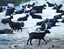 Azienda agricola della capra Immagini Stock Libere da Diritti