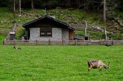 Azienda agricola della capra in alta montagna Immagine Stock Libera da Diritti