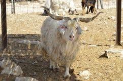 Azienda agricola della capra d'angora Immagini Stock Libere da Diritti