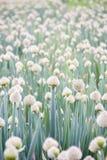 Azienda agricola della cipolla verde Immagini Stock Libere da Diritti
