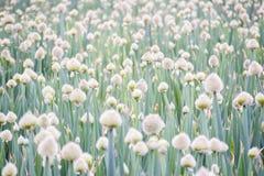 Azienda agricola della cipolla verde Immagine Stock