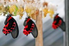 Azienda agricola della farfalla Fotografia Stock Libera da Diritti