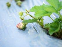 Azienda agricola della fragola Immagine Stock Libera da Diritti