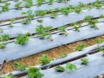 Azienda agricola della fragola Immagini Stock Libere da Diritti