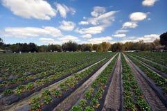 Azienda agricola della fragola Fotografie Stock