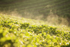 Azienda agricola della fragola Immagine Stock