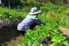 Azienda agricola della fragola Immagini Stock