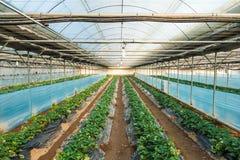 Azienda agricola della fragola dell'interno Fotografie Stock