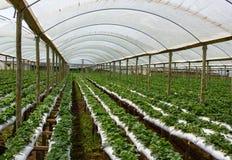 Azienda agricola della fragola dentro la serra Immagini Stock