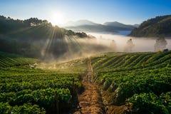 Azienda agricola della fragola di mattina Angkhang di Doi, Chiangmai Fotografie Stock Libere da Diritti