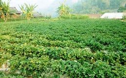Azienda agricola della fragola in montagna Fotografia Stock Libera da Diritti