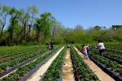 Azienda agricola della fragola nell'azienda agricola della fragola di Froberg nella città di Alvin, il Texas Fotografia Stock