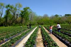 Azienda agricola della fragola nell'azienda agricola della fragola di Froberg nella città di Alvin, il Texas Immagini Stock