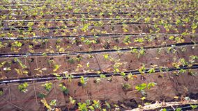 Azienda agricola della fragola Piantagione della fragola il modo naturale senza plastica fotografia stock libera da diritti