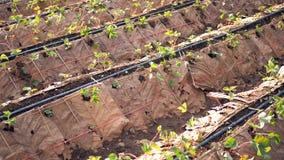 Azienda agricola della fragola Piantagione della fragola il modo naturale senza plastica immagini stock libere da diritti