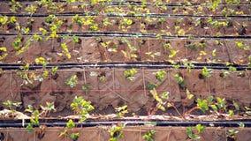 Azienda agricola della fragola Piantagione della fragola il modo naturale senza plastica fotografia stock