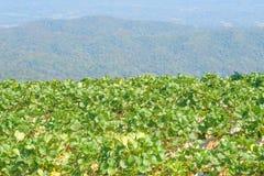 Azienda agricola della fragola sul fondo della montagna immagine stock libera da diritti