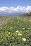 Azienda agricola della frutta, anguria. Immagini Stock