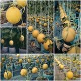 Azienda agricola della frutta del melone, agricoltura Fotografia Stock