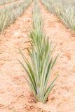 Azienda agricola della frutta dell'ananas, agricoltura della frutta tropicale Fotografia Stock Libera da Diritti