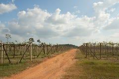 Azienda agricola della frutta dell'uva Immagine Stock