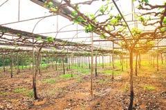 Azienda agricola della frutta dell'uva, azienda agricola crescente di agricoltura di inizio Immagine Stock
