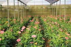 Azienda agricola della gerbera dentro la serra Immagini Stock