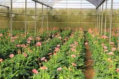 Azienda agricola della gerbera dentro la serra Immagine Stock Libera da Diritti