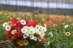 Azienda agricola della gerbera dentro la serra Fotografia Stock Libera da Diritti