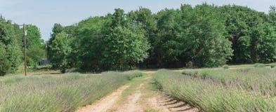 Azienda agricola della lavanda di panorama che fiorisce a Gainesville, il Texas, U.S.A. fotografia stock libera da diritti